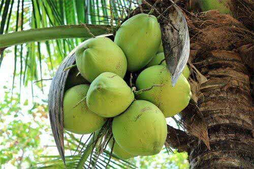 Quelle: http://www.kokos-nuss.de/bilder/kokosnuesse.jpg